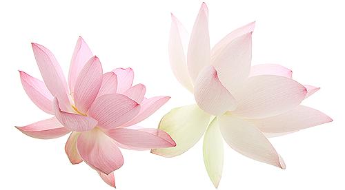 lotus-singing